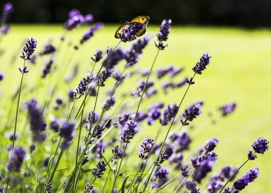lavender-1530030_960_720